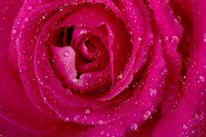 Free Rose In The Splashing Water Stock Photos - 8384213