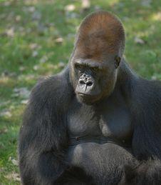 Free Male Gorilla Stock Photo - 8384310