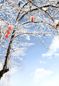 Free Red Berries With Snow Stock Images - 8384654