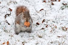Red Squirrel On White Snow With Walnut Stock Image