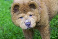 Free Chow Dog After Play Stock Photos - 8386693