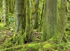 Free Mossy Rainforest Royalty Free Stock Photography - 8387787