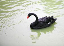 Free Black Swan Royalty Free Stock Photography - 8389537