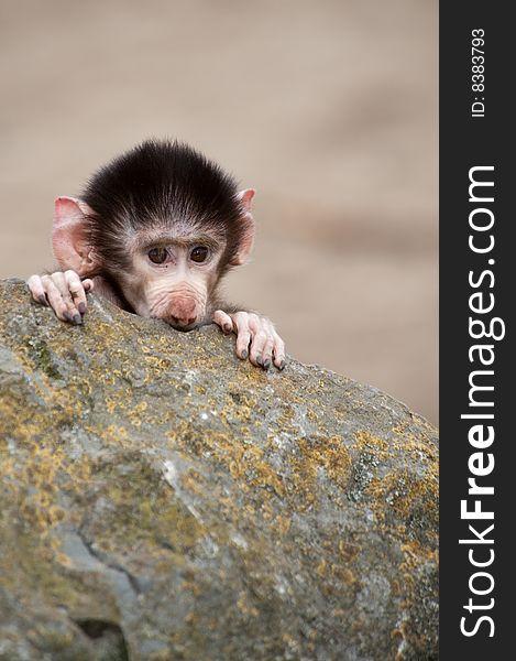 Cute baby Hamadryas Baboon