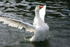 Free White Goose Flapping It S Wings 3 Stock Photo - 8390240