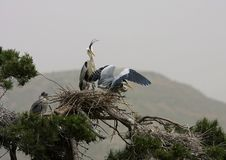 Free Ardea Cinerea(5) Royalty Free Stock Images - 8391009