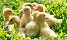 Free Little Ducklings Royalty Free Stock Photography - 8392397