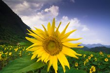 Free Sunflowers Stock Photo - 8393450