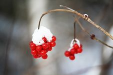 Free Bird Berries In Winter - Covered In Snow Stock Image - 8393491
