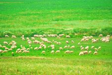 Free Sheep On The Meadow Royalty Free Stock Photos - 8394448