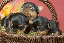 Free Three Yorkshireterriers On Red Background Stock Images - 8394574