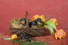 Free Three Yorkshireterriers On Red Background Royalty Free Stock Photo - 8394575