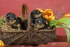 Free Three Yorkshireterriers On Red Background Royalty Free Stock Image - 8394576