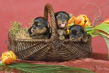 Free Three Yorkshireterriers On Red Background Royalty Free Stock Image - 8394596