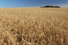 Free Wheat Field Stock Photography - 8395962