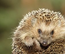 Free Hedgehog Stock Images - 8396434