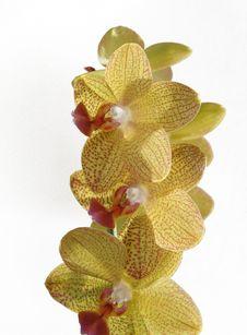 Free Phalenopsis Royalty Free Stock Photo - 8396915