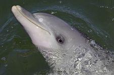 Free Bottlnose Dolphin Stock Photos - 8398183