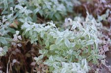 Free Frost On Mint Leaves Royalty Free Stock Images - 8398209