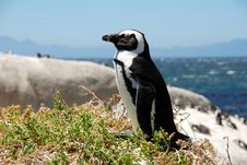 Free African Penguins Royalty Free Stock Photography - 8398687