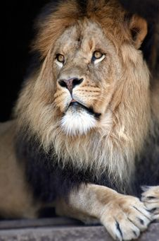 Free Male Lion Stock Photo - 840060