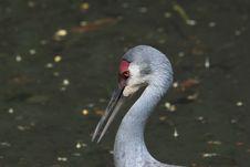 Free Sandhill Crane - Grus Canadensis Stock Images - 841384
