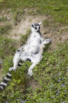 Free Ring Tailed Lemur Stock Photo - 842260