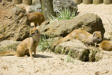 Free Yellow Mongoose Royalty Free Stock Photography - 842287