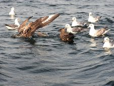 Free Great Skuas And Fulmars Stock Images - 843514