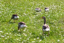 Free Geese On The Meadow Stock Photography - 843962