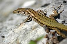 Free Gecko Stock Photography - 844082