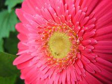Free Gerbera Flower Royalty Free Stock Images - 844249