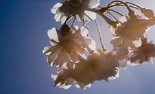 Free Cherry Blossoms Highlighted By Sunflare Royalty Free Stock Photography - 844717