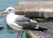 Free Seagull Stock Photography - 845042