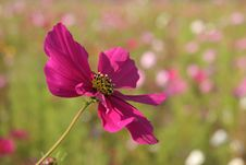 Free Cosmos Flowers In France 3 Royalty Free Stock Photo - 845265