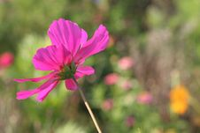 Free Cosmos Flowers In France 2 Royalty Free Stock Image - 845266