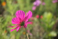 Free Cosmos Flowers In France 1 Royalty Free Stock Photography - 845267