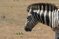 Free Zebra Head Royalty Free Stock Photo - 845465