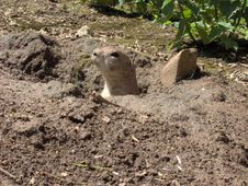 Free Prairie Dog Royalty Free Stock Photography - 846497