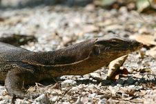 Free Monitor Lizard Royalty Free Stock Image - 846706