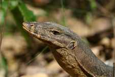 Free Monitor Lizard Stock Photos - 846713