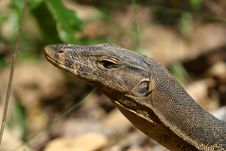 Free Monitor Lizard Stock Images - 846714