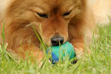 Chewing The Ball Royalty Free Stock Images