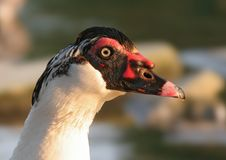 Black Headed Muscovy Duck Royalty Free Stock Photo