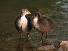 Free Two Baby Coots Stock Images - 847534