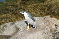 Free Night Heron Stock Photography - 847842