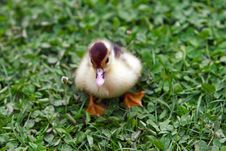 Free Duckling Royalty Free Stock Photography - 848187