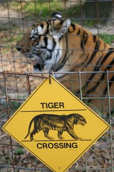Tiger Crossing. Stock Photos