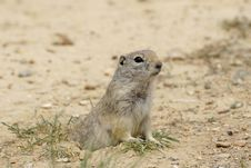 Free Prairie Dog Royalty Free Stock Photos - 848558