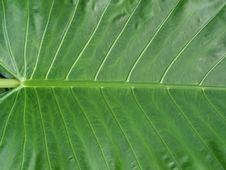 Free Giant Leaf Stock Photos - 848563